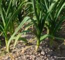 El Ajo Morado es un ecotipo de la planta de ajo (Allium sativum)